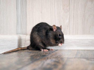 Krysa obecná - deratizace