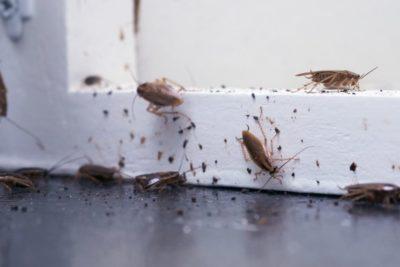 jak vypadá šváb 1