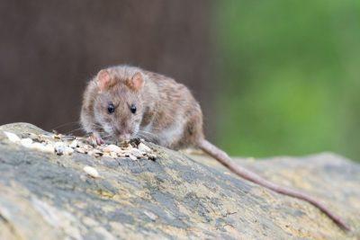 Potkan obecný - deratizace