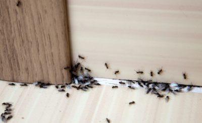 Jak se zbavit mravenců 4