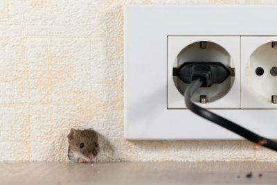 jak chytit myš v bytě