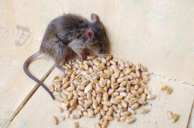 jak na myši v domě