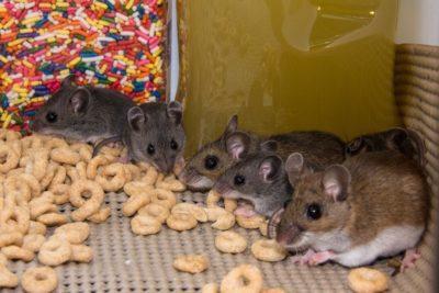 Myš domácí - deratizace