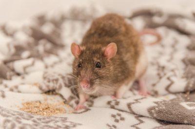 jak na krysy