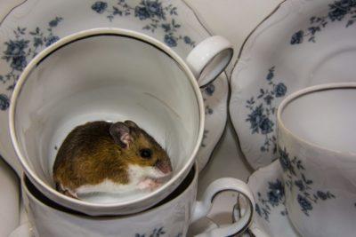 hubení myší v domě