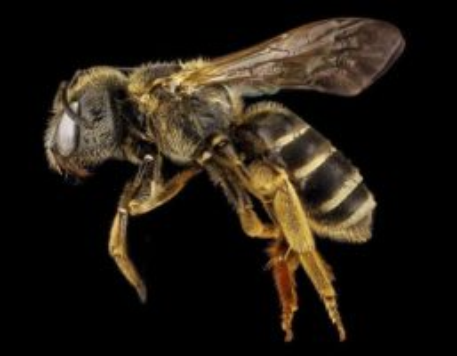 Včela detail